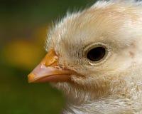Mannetje van de drie tot vier dagen het oude kip, van het Hedemora-ras in Zweden stock foto