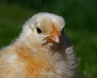 Mannetje van de drie tot vier dagen het oude kip, van het Hedemora-ras in Zweden stock afbeelding