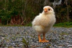 Mannetje van de drie tot vier dagen het oude kip, van het Hedemora-ras in Zweden stock fotografie