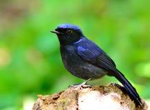 Mannetje van Grote Niltava (Niltava-grandis) mooie donkerblauw Stock Foto