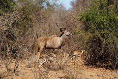Mannetje van Grotere kudu Royalty-vrije Stock Fotografie