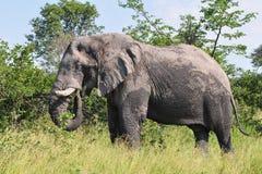Mannetje van olifant stock afbeeldingen