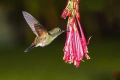 Mannetje van streep-De steel verwijderde eximia van kolibrieeupherusa stock afbeelding