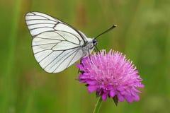 Mannetje van zwart-Geaderde Witte vlinder, Aporia-crataegi Royalty-vrije Stock Foto's