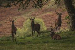 4 mannetjes rode herten die camera in Schotse Hooglanden in Autum bekijken stock afbeeldingen