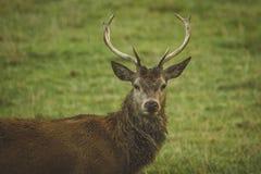 Mannetjes rode herten op gebied in Schotland stock fotografie