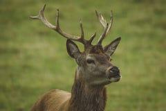 Mannetjes rode herten op gebied in Schotland royalty-vrije stock afbeeldingen