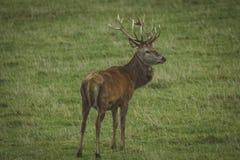 Mannetjes rode herten op gebied in Schotland stock afbeelding