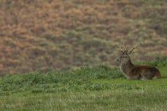 Mannetjes rode herten op gebied in Schotland royalty-vrije stock foto's