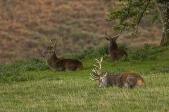 Mannetjes rode herten op gebied in Schotland stock foto's