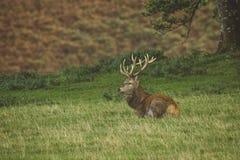 Mannetjes rode herten op gebied in Schotland stock afbeeldingen