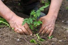 Mannhände, die Tomatesämlinge pflanzen Lizenzfreie Stockfotos