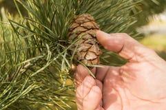 Mannhandriß der Kegel einer Kiefer, der Kiefer mit grünen Kiefernniederlassungen des Baums das Konzept von Weihnachten, des Feier Lizenzfreie Stockfotografie