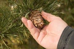 Mannhandriß der Kegel einer Kiefer, der Kiefer mit grünen Kiefernniederlassungen des Baums das Konzept von Weihnachten, des Feier Stockfoto