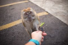 MannHandzuführungen ein Affe Freundschaft zwischen Menschen und Tier Lizenzfreie Stockbilder
