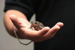 Mannholdingkröte an Hand Lizenzfreies Stockbild