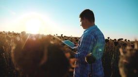 Mannlandwirt mit Tablette auf dem Sonnenblumenarbeitsgebiet geht Bodenwegboden Steadicam-Zeitlupevideo agronom stock video