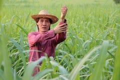 Mannlandwirtstellung und -falte herauf die Ärmel im Zuckerrohrbauernhof stockfoto