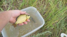 Mannshows fingen die Fische, die es aus einem Plastikeimer heraus nehmend crucian sind stock video