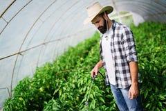 Mannspr?htomatenpflanze im Gew?chshaus lizenzfreie stockfotos