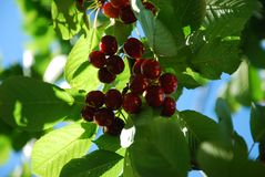 Manny cherries Royalty Free Stock Image