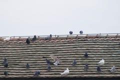Manny pigeons Stock Image