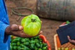 Mano africana dell'agricoltore che tiene pomodoro verde Fotografia Stock