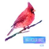 Mano cardinal de On The Branch del pájaro de la acuarela del vector Foto de archivo libre de regalías