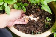 Mano che libera le coperture schiacciate dell'uovo su suolo come fertilizzante naturale Immagine Stock Libera da Diritti