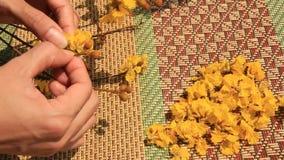 Mano che seleziona i fiori gialli video d archivio