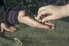 Mano che seleziona la mano degli agricoltori della forma dell'oliva verde Fotografia Stock Libera da Diritti
