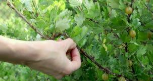 mano che seleziona le bacche mature del cespuglio di uva spina stock footage