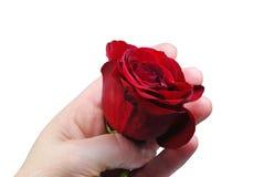 Mano che tiene il germoglio di rosa di colore rosso Fotografie Stock Libere da Diritti