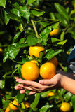 Frutta dell'arancia del mandarino della tenuta della mano Immagini Stock Libere da Diritti