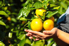 Frutta dell'arancia del mandarino della tenuta della mano Immagine Stock