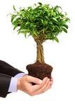 Mano che tiene un Ficus Benjamin della pianta Fotografie Stock
