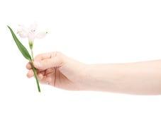 Mano che tiene un fiore di alstroemeria Fotografie Stock Libere da Diritti