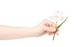 Mano che tiene un fiore di alstroemeria Immagini Stock Libere da Diritti