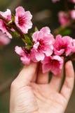 Mano che tiene un ramo Germogli e fiori su un ramo di un ciliegio giapponese Fiori della primavera Macro della natura fotografie stock libere da diritti