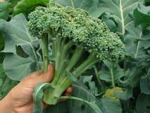 Mano con broccolo Immagini Stock