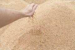 Mano con il grano del grano Fotografia Stock