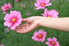 Mano con la flor rosada del cosmos Imagenes de archivo