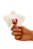 Mano con la manicura blanca que toca la orquídea blanca aislada en w Fotos de archivo