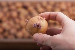 Mano con la patata fotografie stock libere da diritti