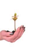 Mano con la pianta isolata su priorità bassa bianca Fotografia Stock