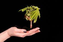 Mano con la pianta isolata su priorità bassa nera Immagine Stock Libera da Diritti