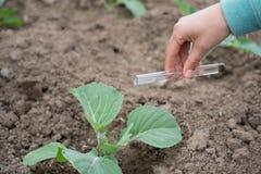 Mano con una pianta della provetta e del cavolo Fertilizzante in vetreria per laboratorio Immagine Stock