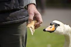 Mano d'alimentazione d'alimentazione del cigno Fotografia Stock