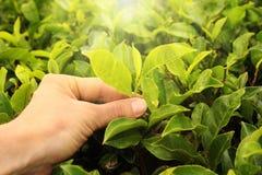 Mano de la cosecha del té Imagenes de archivo