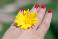 Mano de la mujer con la flor amarilla Fotografía de archivo libre de regalías
